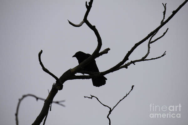 Photograph - Crow On A Branch by Donna L Munro