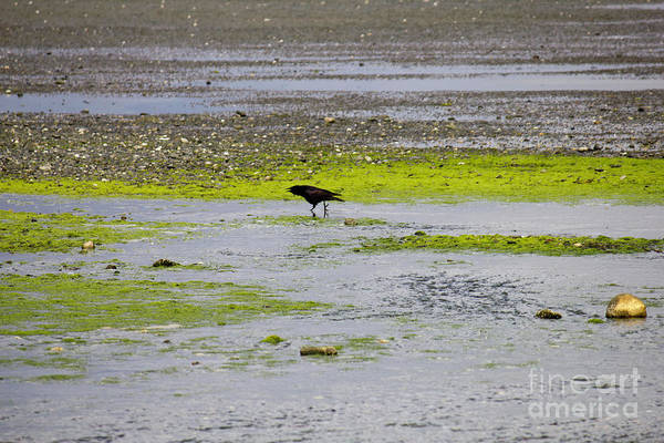 Photograph - Crow On Beach 2 by Donna L Munro