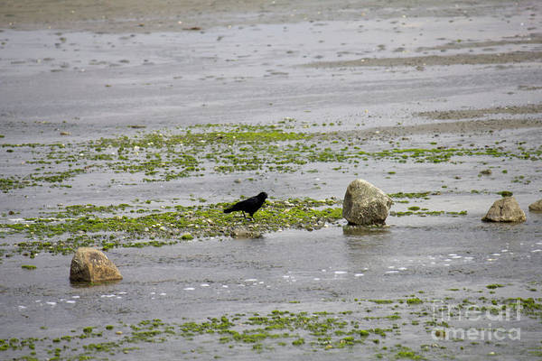 Photograph - Crow On Centennial Park Beach by Donna L Munro