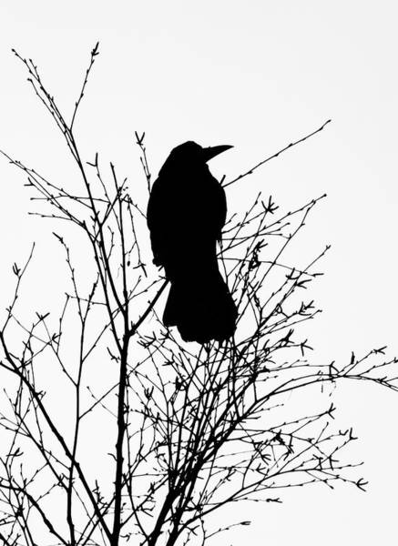 Rook Photograph - Crow Rook Perched In A Tree With Pare Branches In Winter by Philip Openshaw