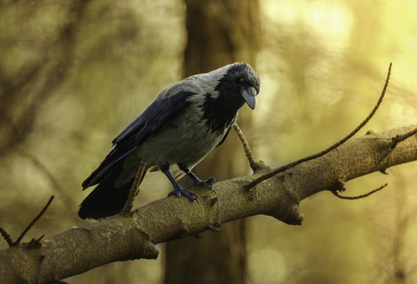 Photograph - Crow Sitting On The Branch. by Jaroslaw Blaminsky