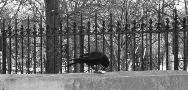 Photograph - Crow by Laura Greco