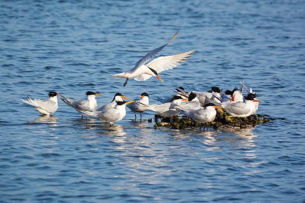 Elegant Tern Wall Art - Photograph - Crowded Island by Brian Knott Photography