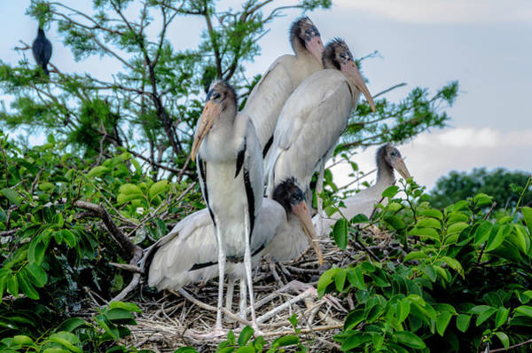 Photograph - Crowded Nest  by Wolfgang Stocker