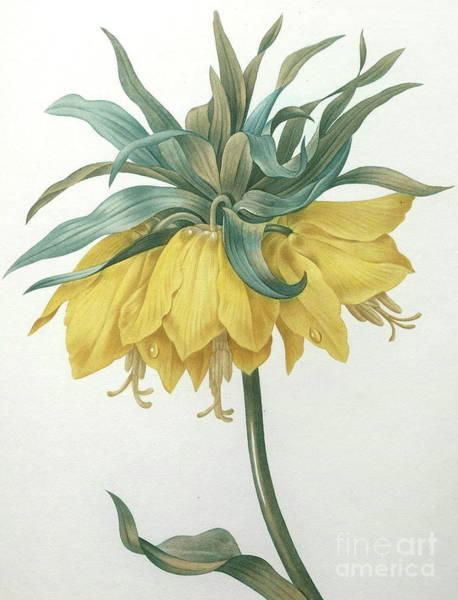 Wall Art - Painting - Crown Imperial  Fritillaria Imperialis by Pierre Joseph Redoute
