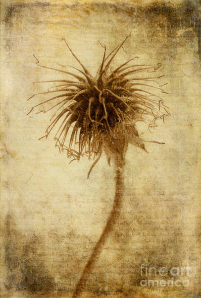 Seed Head Wall Art - Photograph - Crown Of Thorns by John Edwards