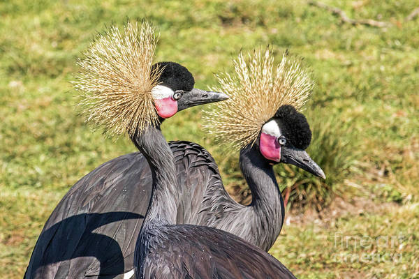 Photograph - Crowned Cranes by Kate Brown
