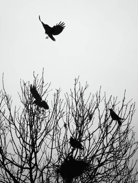 Crows Nest Wall Art - Photograph - Crows - Ascend - Black And White by Philip Openshaw