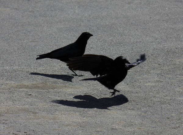 Photograph - Crows Landing On Pavement by Donna L Munro