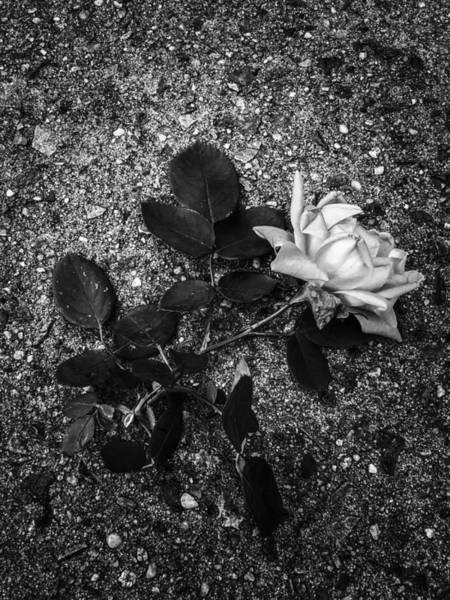 Photograph - Crushed White Rose by Cate Franklyn