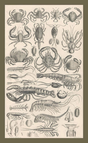 Wall Art - Drawing - Crustacea by Dreyer Wildlife Print Collections