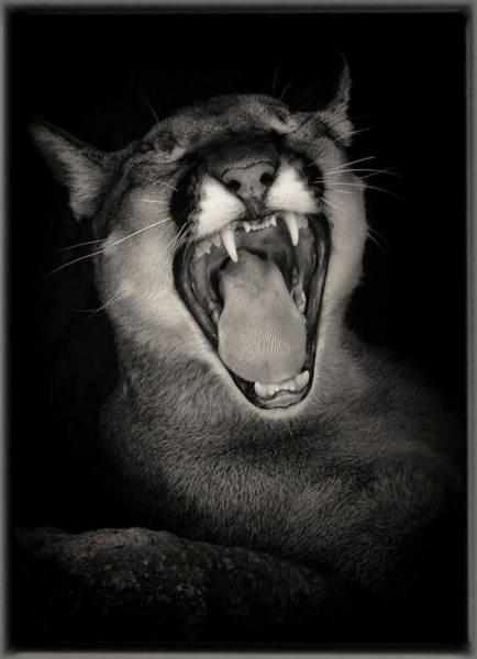 Photograph - Cruz Yawning by Elaine Malott