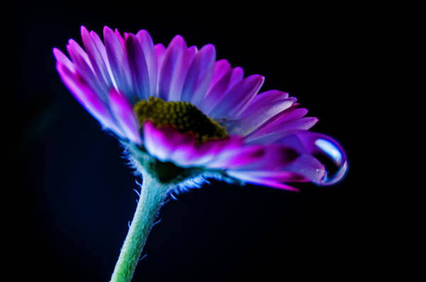 Photograph - Crying Daisy II by Wolfgang Stocker