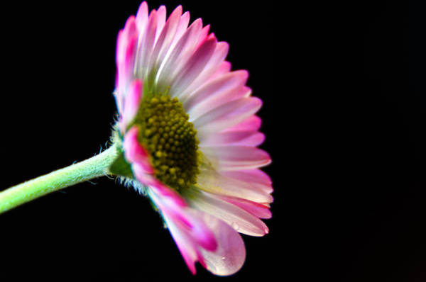Photograph - Crying Daisy by Wolfgang Stocker