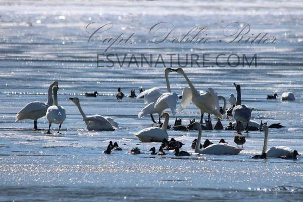 Photograph - Crystal Swans 9017 by Captain Debbie Ritter