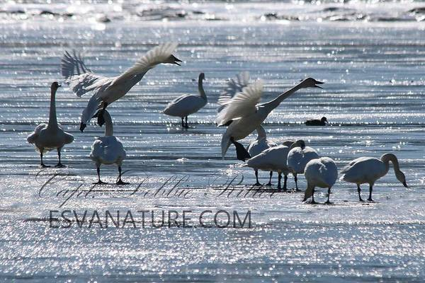 Photograph - Crystal Swans 9168 by Captain Debbie Ritter