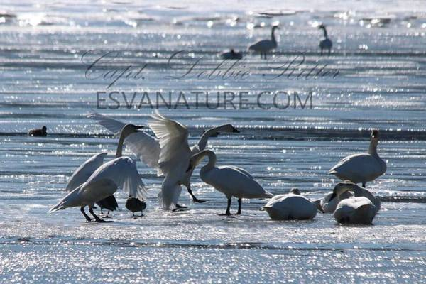 Photograph - Crystal Swans 9171 by Captain Debbie Ritter