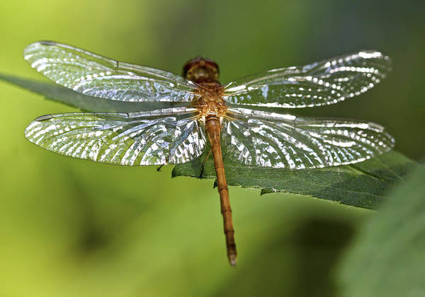 Dragonflies Photograph - Crystal Wings by Evelina Kremsdorf