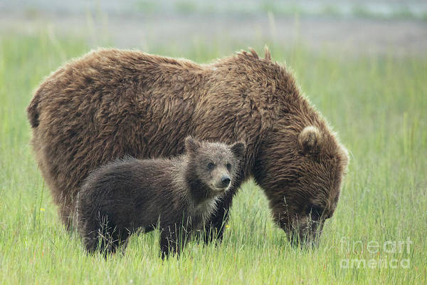 Dancing Bears Photograph - Cub Hanging With Momma Bear by Linda D Lester