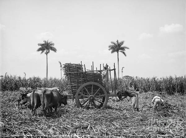 Photograph - Cuba: Sugar Plantation by Granger