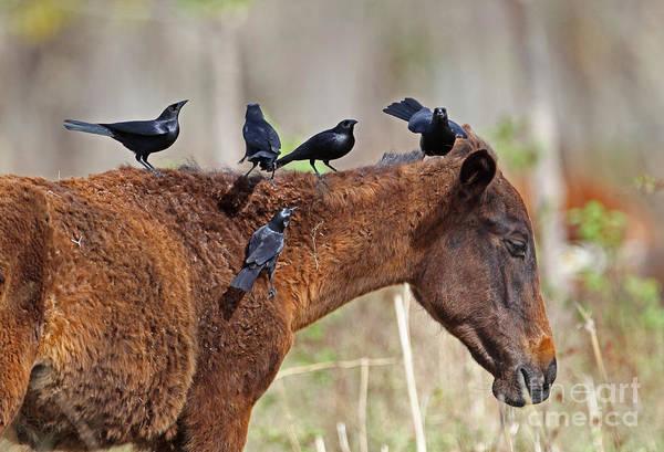 Icterid Photograph - Cuban Blackbirds On Horse by Neil Bowman/FLPA