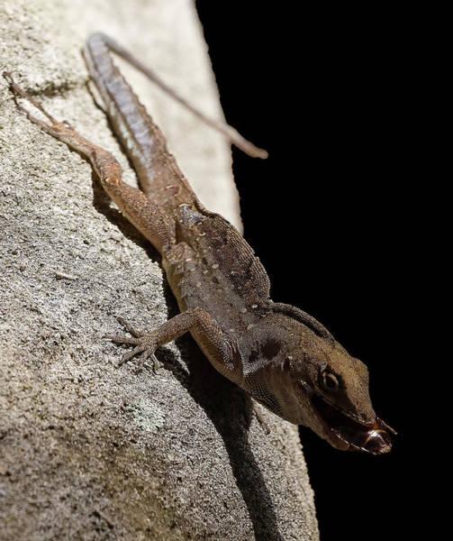 Photograph - Cuban Brown Lizard With Meal by Richard Goldman