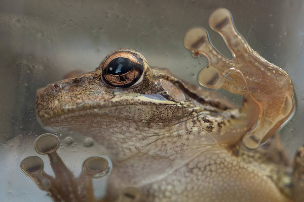 Photograph - Cuban Treefrog by Paul Rebmann