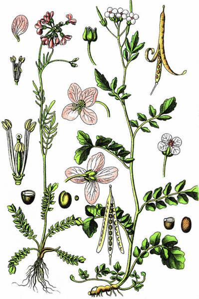 Cuckoo Drawing - Cuckoo Flower Or Lady's Smock by Bildagentur-online