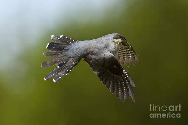 Cuculidae Photograph - Cuckoo Flying by Steen Drozd Lund