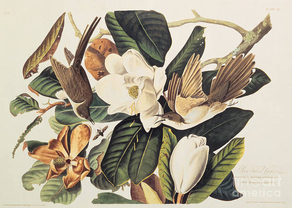 Woods Drawing - Cuckoo On Magnolia Grandiflora by John James Audubon