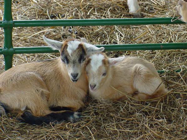 Goats Photograph - Cuddles by Marsha Elliott