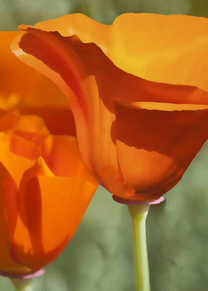 Poppies Digital Art - Cup Of Gold by Sharon Foster