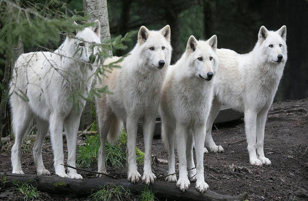 Arctic Wolf Photograph - Curiosity by Elvira Butler