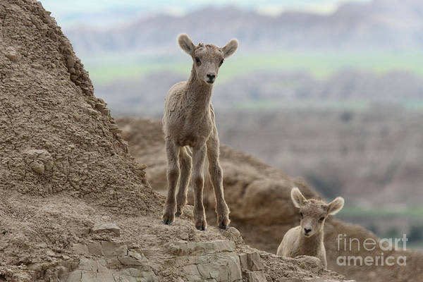 Photograph - Curiosity In The Badlands by Adam Jewell