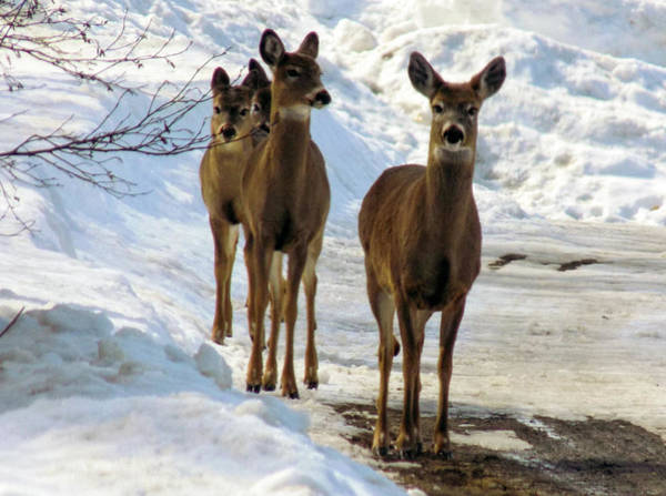 Aroostook Photograph - Curious And Wary Deer by William Tasker