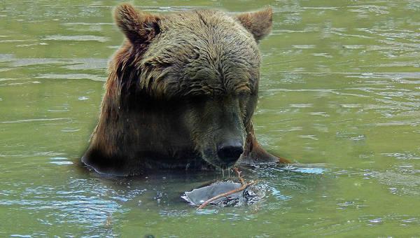 Photograph - Curious Bear by Frank Vargo