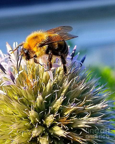 Photograph - Curious Bee by Michael Graham