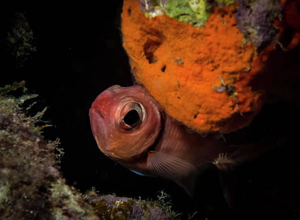 Lurking Photograph - Curious Blackbar Soldierfish by Jean Noren