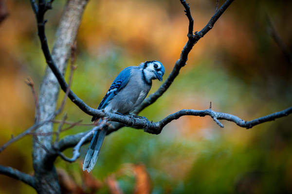 Photograph - Curious Blue Jay by Jeff Phillippi