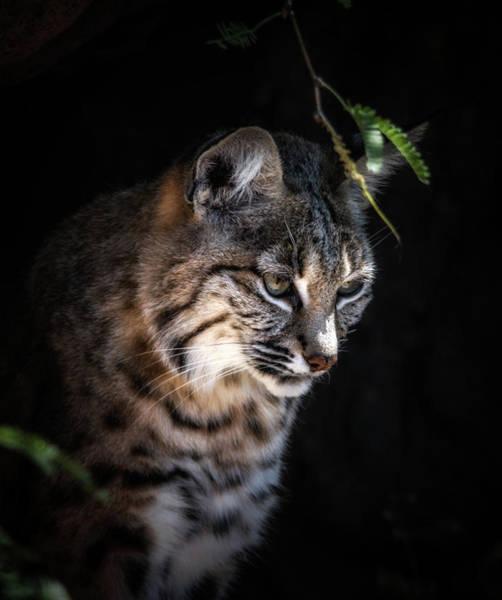 Photograph - Curious Bobcat by Elaine Malott