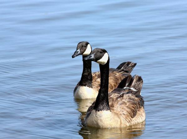 Photograph - Curious Canda Geese by Sheila Brown