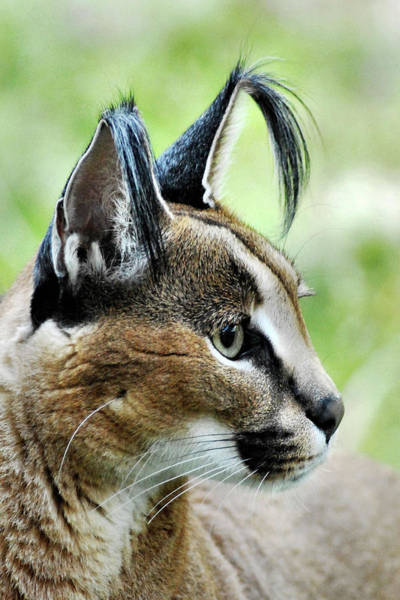 Photograph - Curious Caracal by Howard Bagley