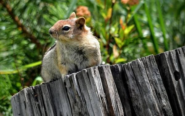 Photograph - Curious Chipmunk by AJ Schibig