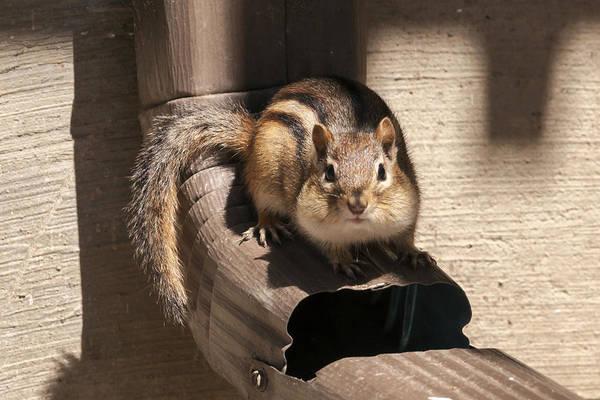 Photograph - Curious Chipmunk by Liza Eckardt