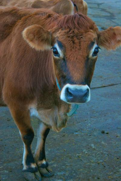 Photograph - Curious Cow by Polly Castor