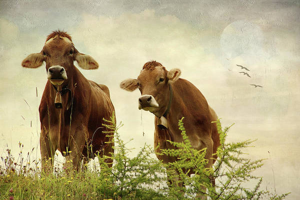 Photograph - Curious Cows by Annie Snel