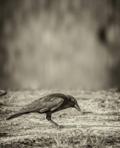 Photograph - Curious Crow by Bob Orsillo