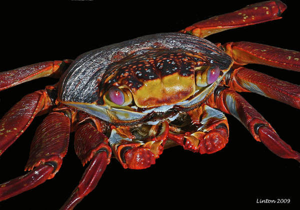 Photograph - Curious Crustacean by Larry Linton