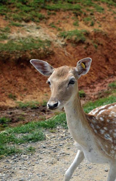 Photograph - Curious Deer by Karen Harrison