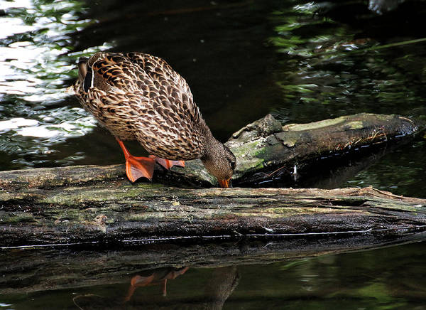 Photograph - Curious Duck by William Selander